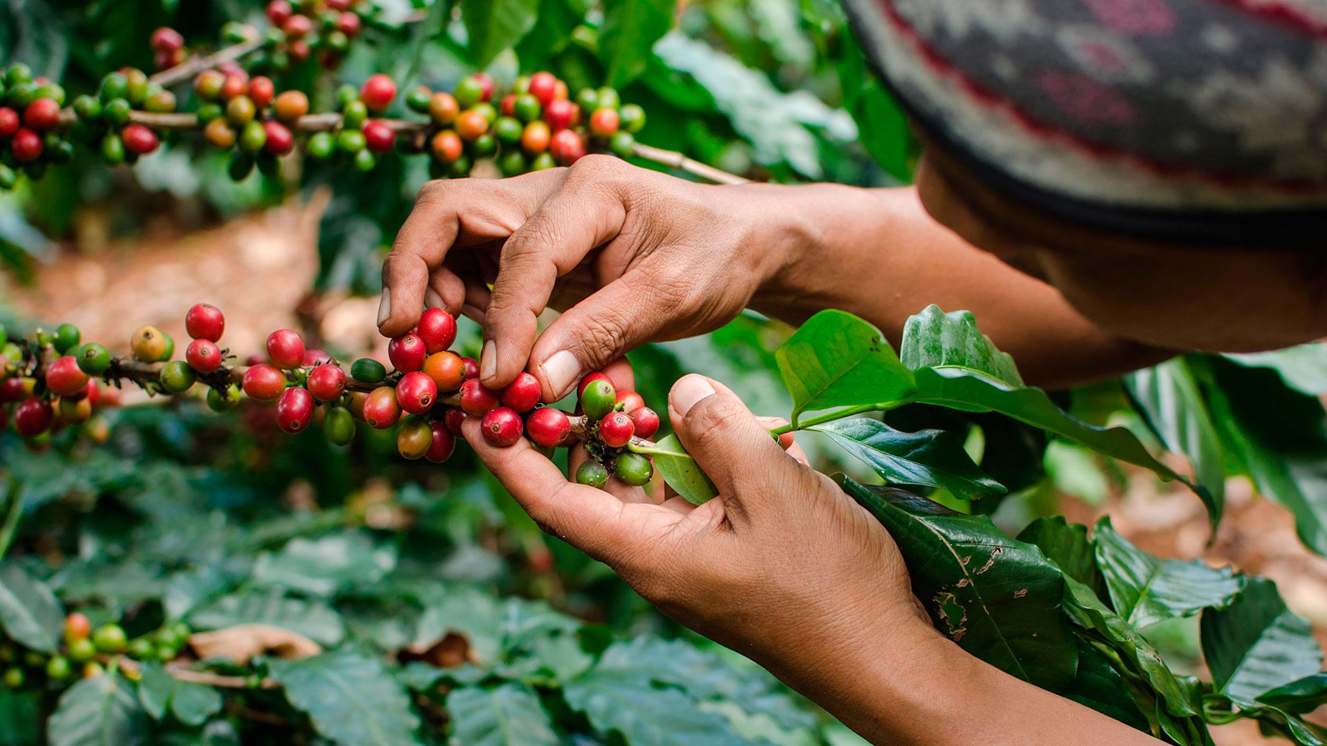 El grano se empacó en 1,2 millones de sacos. Producción cafetera creció 11,4% en junio   EL FRENTE