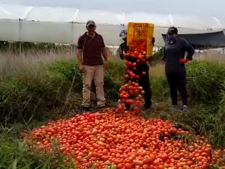 Drama para campesinos de Betulia, Santander. Botan toneladas de comida porque no hay compradores | Región | Santander | EL FRENTE