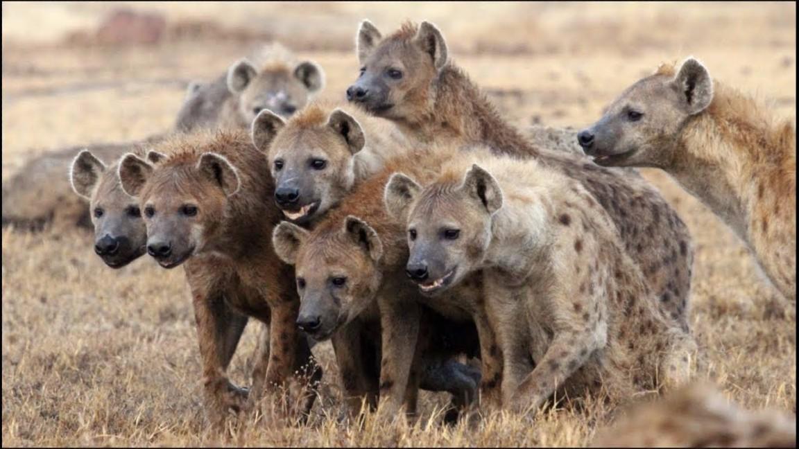Abuelo fue devorado por hienas mientras dormía  | EL FRENTE