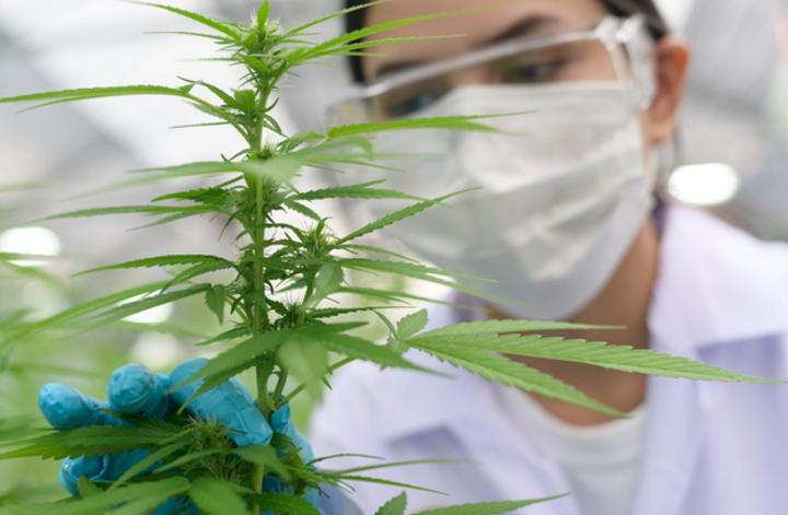 Continúa jornada masiva de consultas gratuitas y tratamientos con cannabis medicinal en Bucaramanga   Economía   EL FRENTE