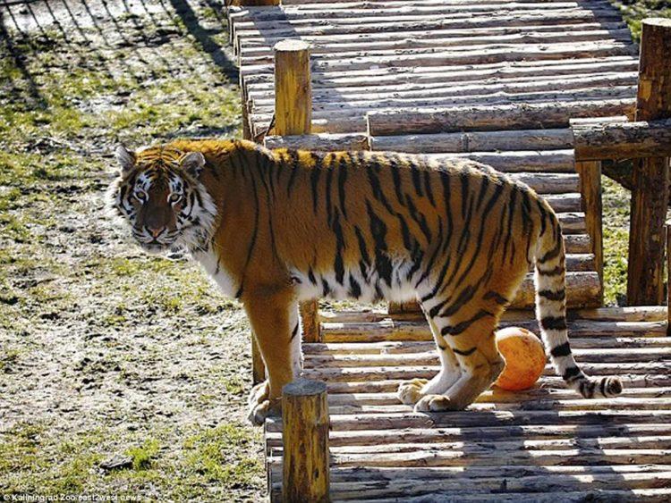 Tigre mató a un hombre en un zoológico de Sudáfrica | foto | EL FRENTE