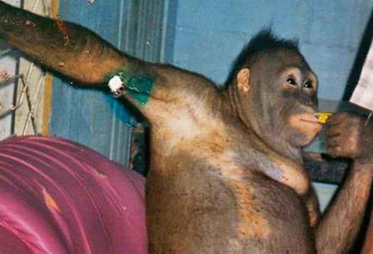 La orangután abusada por cientos de hombres en un burdel  | EL FRENTE