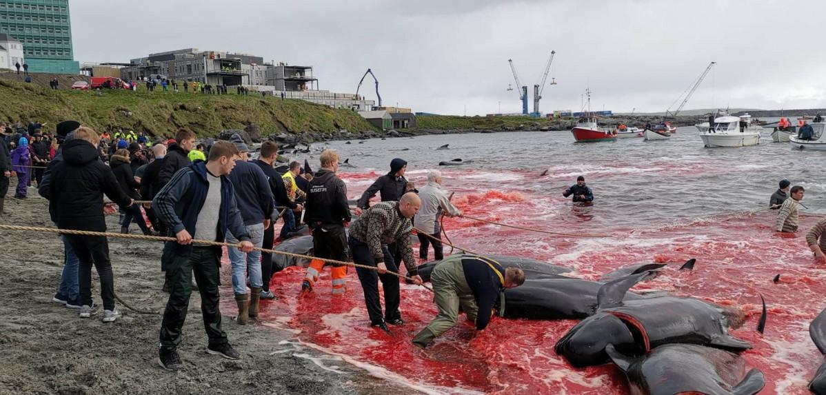 Terrible matanza de 1.400 delfines en Islas Feroe   EL FRENTE