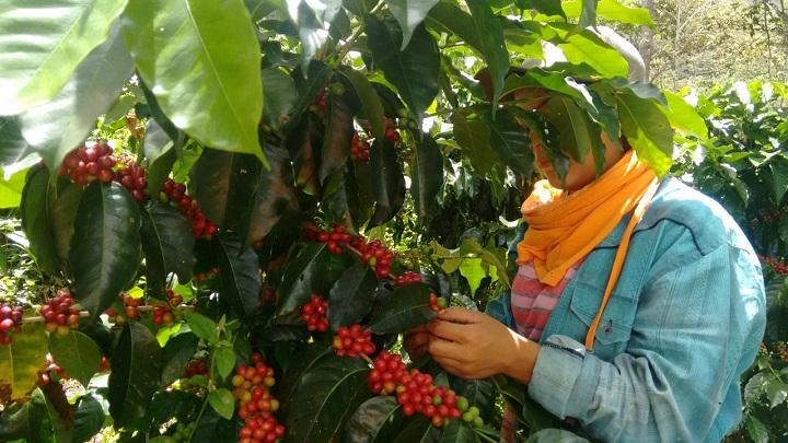 Recolectores llegan atraídos por el aroma del mejor café a la cosecha en Santander | EL FRENTE