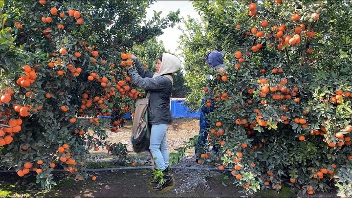 Cultivadores de Lebrija promueven gran gran ´mandarinada´ para salvar cosecha y la economía | Región | Santander | EL FRENTE