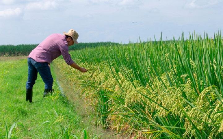 Este miércoles se lanza FedearrozBIOZn035 la primera variedad de arroz biofortificado con zinc | Nacional | Economía | EL FRENTE